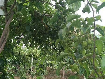 鶴崗軟棗獼猴桃樹苗 購買軟棗獼猴桃苗就選仙境湖農業
