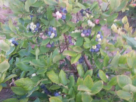 沈陽藍靛果苗木價格 黑龍江藍靛果苗木