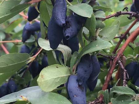 藍靛果苗木價格谘詢,錦州藍靛果苗