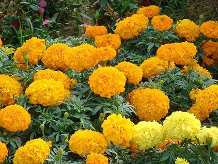 想要买万寿菊种子就来卓益花卉 草花种植基地