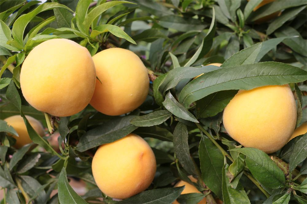 早熟黄桃苗种植基地-找黄金桃苗-来郭涛黄金桃
