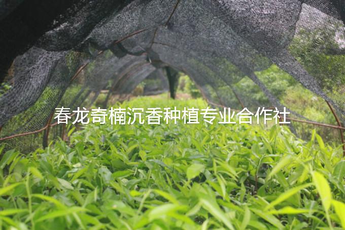 想要优惠的奇楠沉香苗就来春龙奇楠沉香,奇楠沉香种子