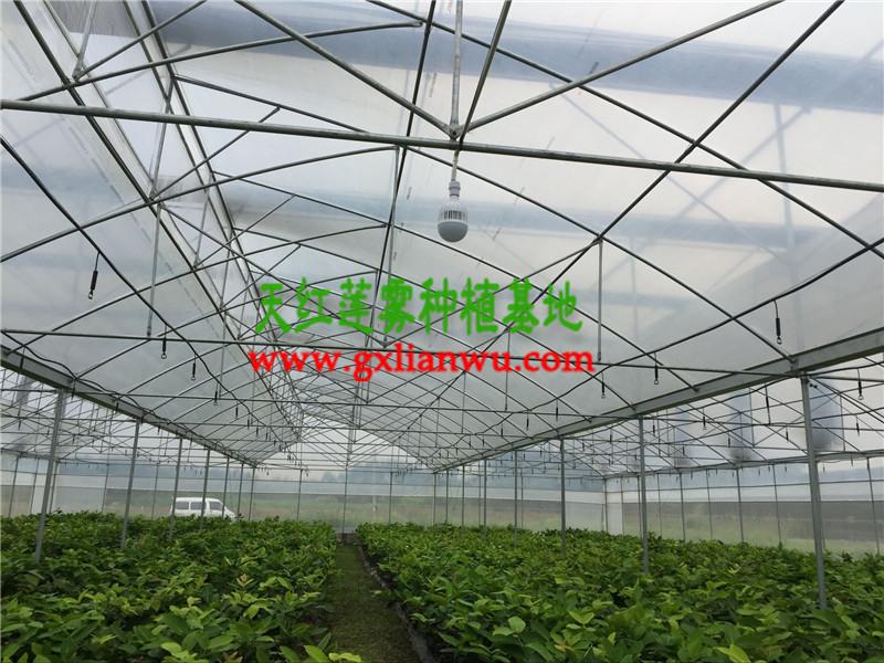 品种纯的大叶红莲雾苗优选防城港天红农业-大叶红莲雾供应商