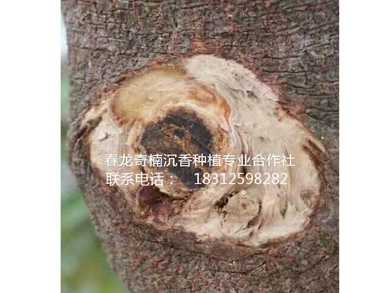 奇楠沉香的鉴别——广东优质奇楠沉香树批发