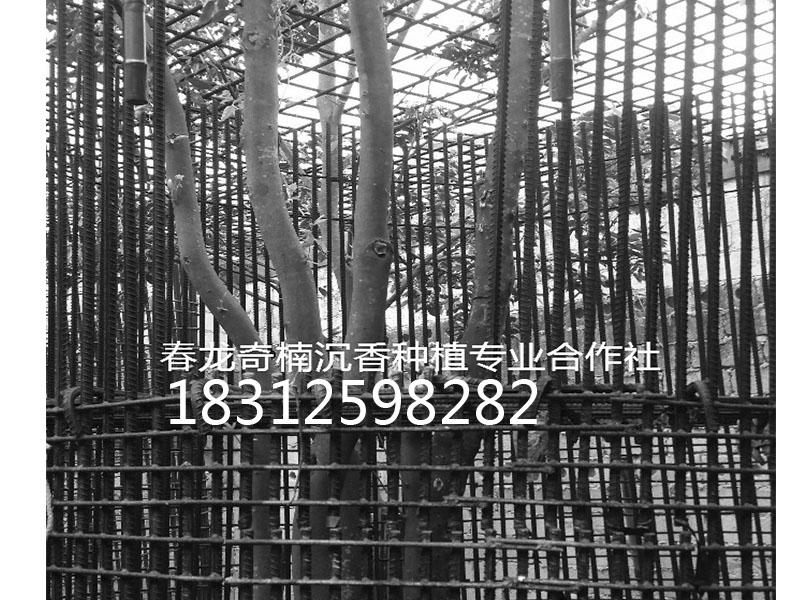 奇楠沉香电子商务平台|奇楠沉香树专业供应商
