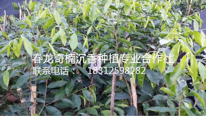 奇楠沉香拍卖价格_广东哪里有出售奇楠沉香树