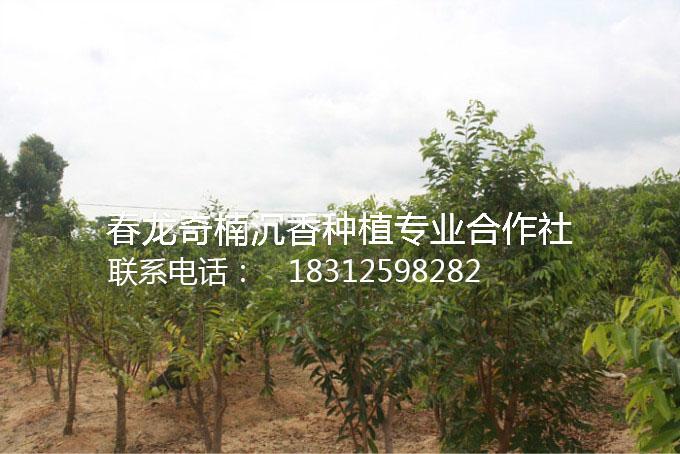 奇楠沉香手串价格-哪里有供应奇楠沉香树