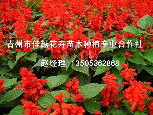 有品质的一串红推荐|青州一串红价格
