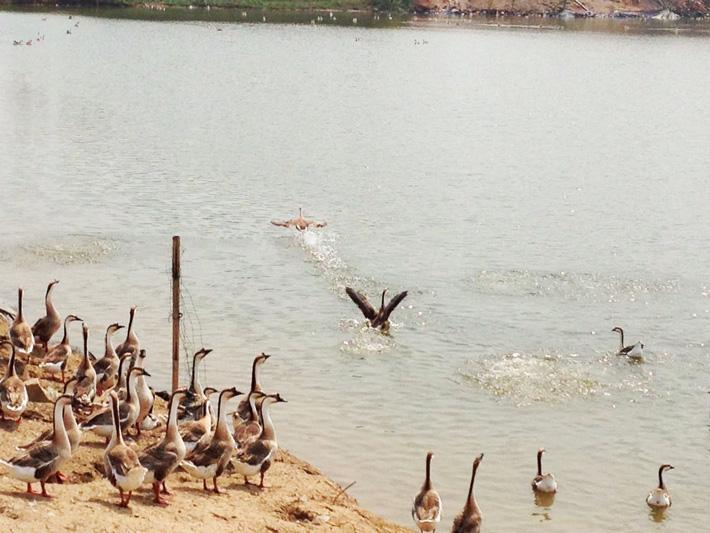 安徽鸿雁苗|供应安徽优惠的大雁养殖场