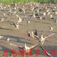 大雁苗价格_可信赖的大雁基地就是东方鸿雁养殖合作社