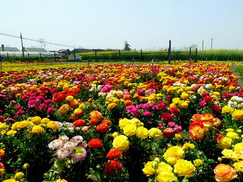 优质的花卉 想买优惠的花毛茛,就到东方花卉