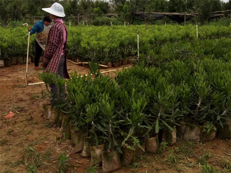 知名的澳洲坚果供应商_广西德仁生物科技-广西澳洲坚果批发