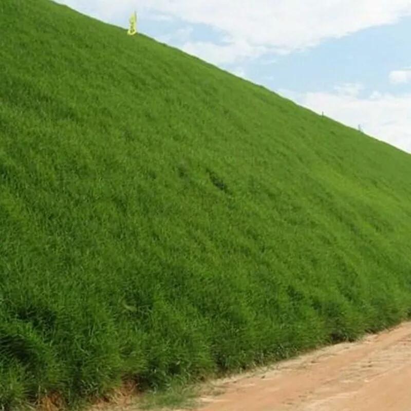 開封狗牙根草種-嘉盛園林專業供應狗牙根草種