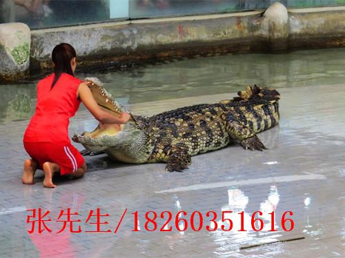 鳄鱼表演价位 哪儿有提供高质量的鳄鱼表演
