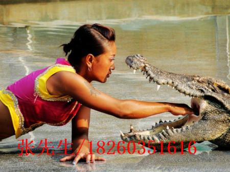 有口碑的鳄鱼表演公司|江苏鳄鱼表演