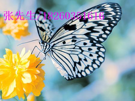 优良的活体蝴蝶放飞活动服务推荐|活体蝴蝶放飞活动公司