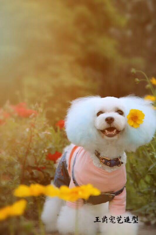宠物美容师学费多少-王爵宠艺宠物为您提供好的宠物美容