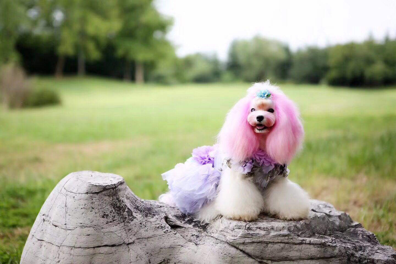 山东宠物美容师培训-想找信誉好的宠物美容就来王爵宠艺宠物