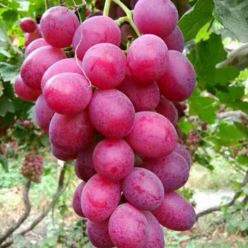 湖北新郁葡萄苗-想要實惠的新郁葡萄苗就來匯玖葡萄種植專業合作社