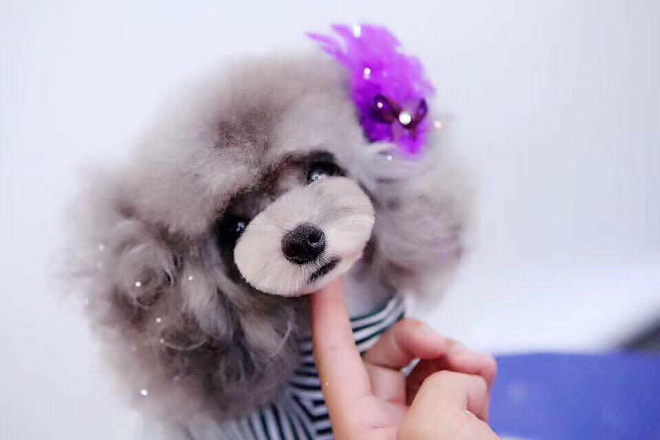 山东王爵宠物美容-口碑好的宠物美容哪里有提供