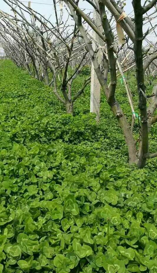 白三叶草坪种子超低价,哪里有批发果园草果岭草绿肥种子三叶草