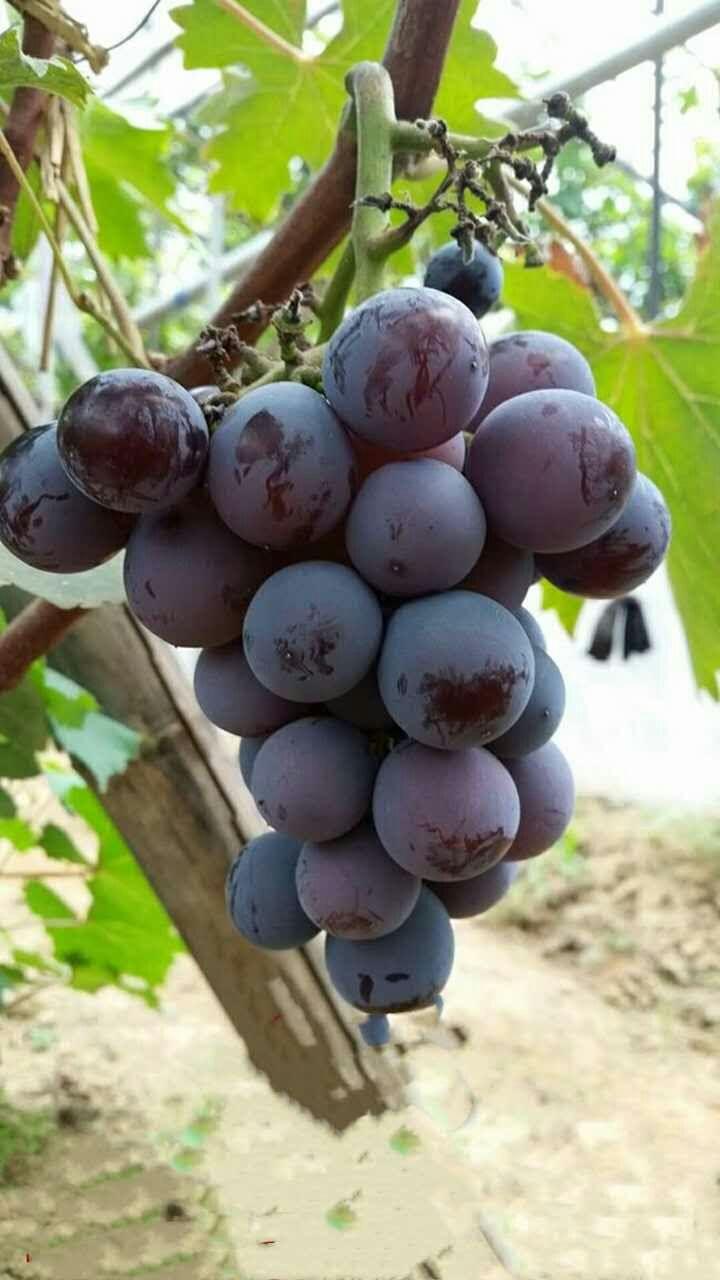 克伦生葡萄苗|秦皇岛葡萄苗种植基地