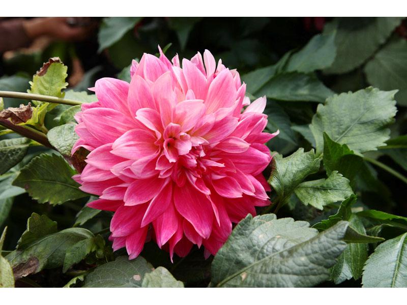 大丽花价格-临洮绿洲花卉种植-专业大丽花供应商