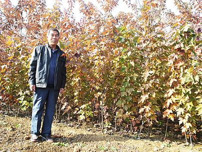 日本红枫橙之梦-想要品种好的红枫就来金枫彩叶