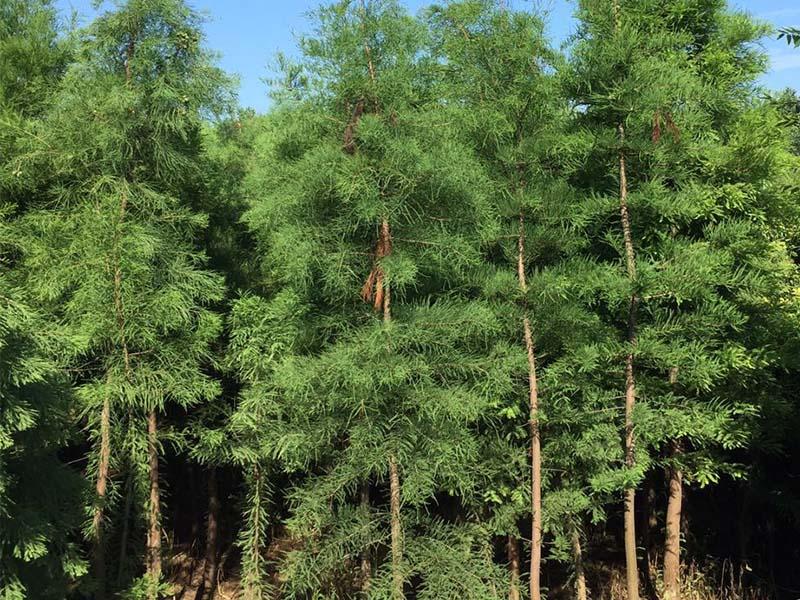 12公分池杉价格-供应江苏无病虫害的池杉
