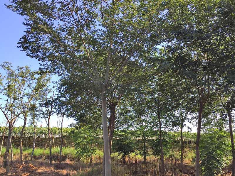 具有价值的朴树_买朴树找茅山镇凌家园苗业种植基地