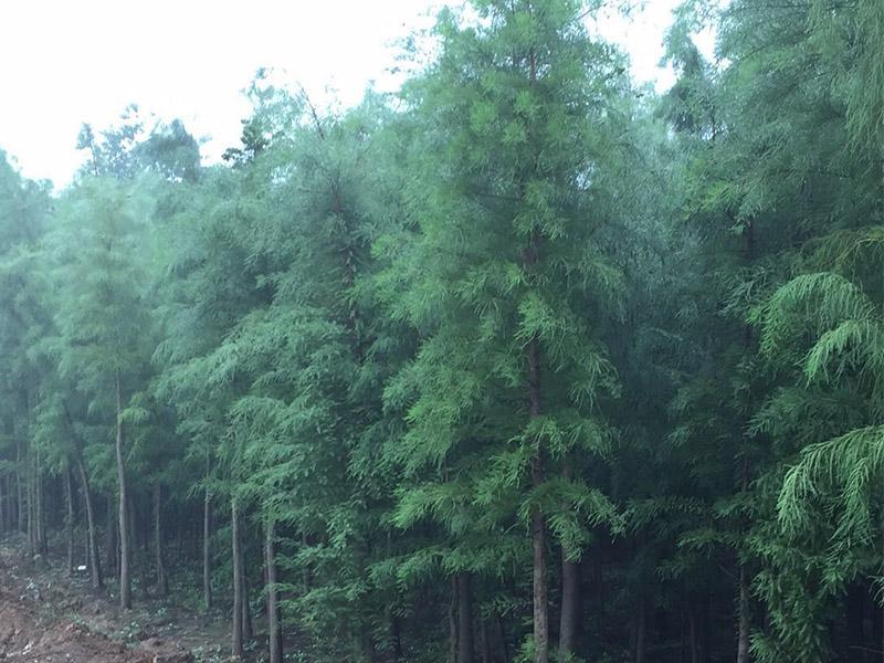 水杉价位-供应品质优良的水杉