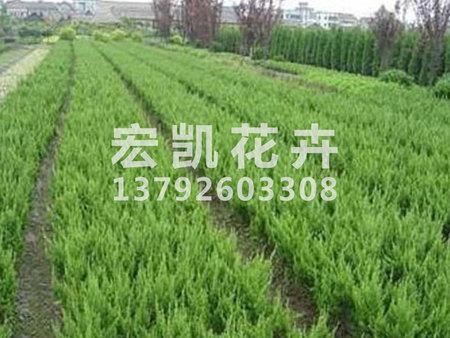 冬青种植基地——专业的绿化苗木供应商推荐