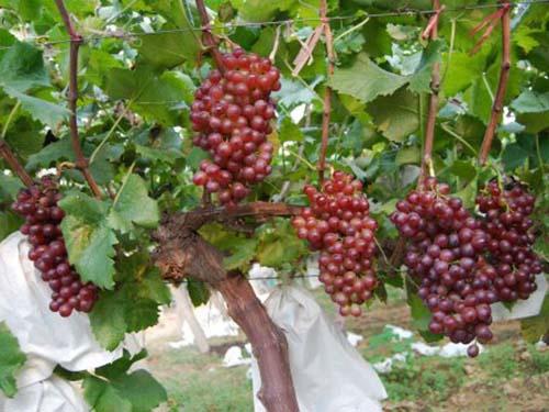紅寶石葡萄苗批發廠家-想要易種植的紅寶石葡萄苗就來匯玖葡萄種植專業合作社