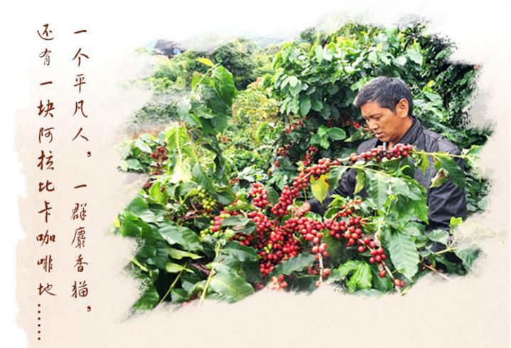 购买好的猫屎咖啡当选芙茵咖啡庄园_猫屎咖啡供应商