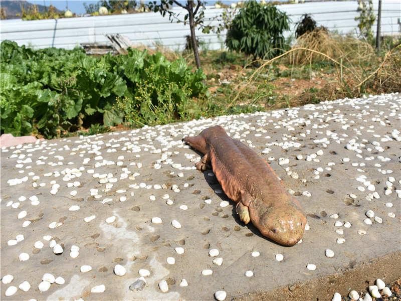 帝泽大鲵养殖为您提供实惠的娃娃鱼批发基地养殖,娃娃鱼