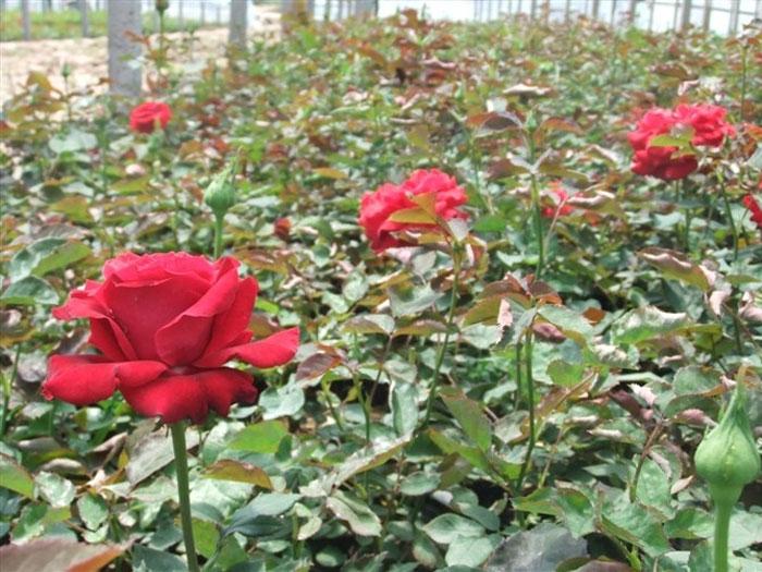 【花花世界】山东大花月季,大花月季树基地——鸿润