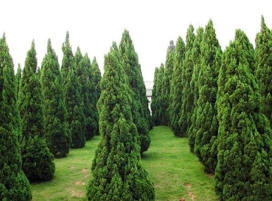 供应山东成活率高的龙柏-龙柏种植基地