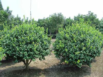 兰州苗木基地-想要易种植的绿化苗木就来甘肃华艺园林绿化