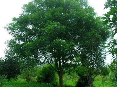 兰州苗木养殖-供应甘肃有品质的绿化苗木