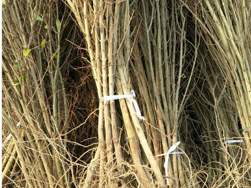 优良软籽石榴树苗专业供应-石榴树苗价位