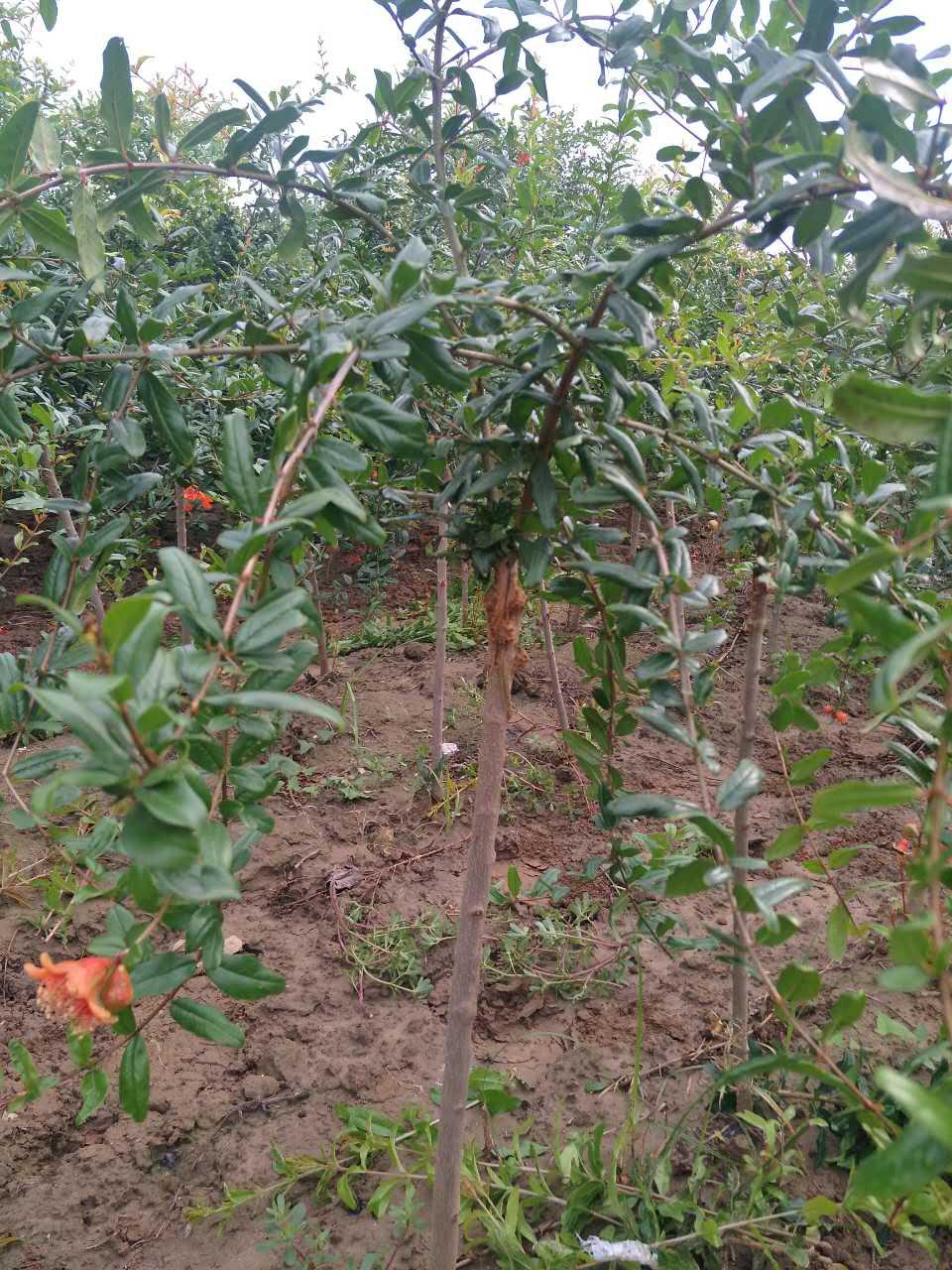 石榴树苗多少钱-口碑好的软籽石榴树苗优选伟业林果