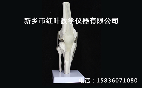 鄭州骨骼教學模型-紅葉教學儀器提供實用的教學模型