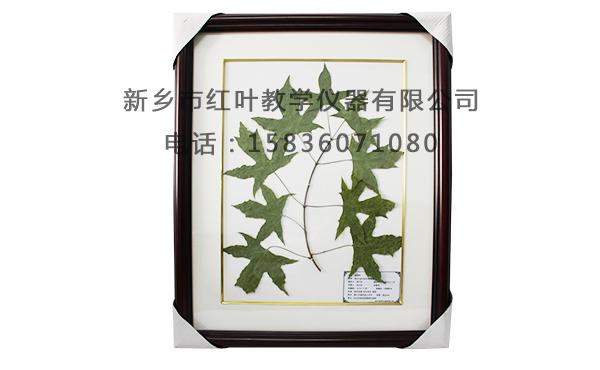 长春花腊叶标本 如何选购高质量的腊叶标本