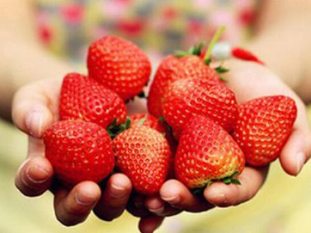 甜寶草莓-哪兒有批發口碑好的紅顏草莓