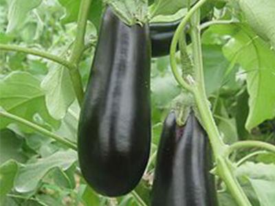 采购茄子就找山东万泰蔬菜-茄子价位