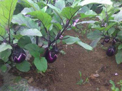 山东万泰蔬菜专业供应茄子,茄子图片