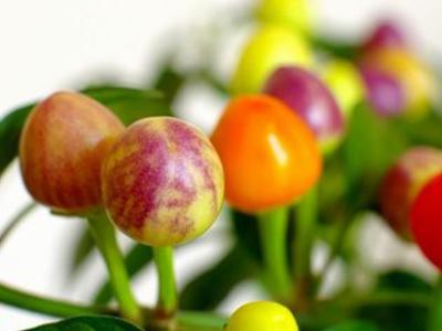 五彩辣椒|泰安价格合理的五彩椒批售
