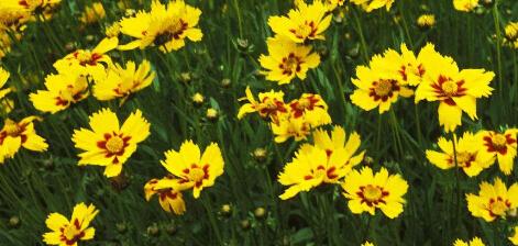 想买新品金鸡菊杯苗,就到雨萌花卉 |金鸡菊批发价格