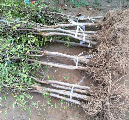 软籽石榴树苗买卖价格,石榴树苗批发