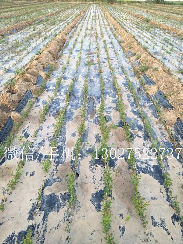 石榴树苗价格,高纯度软籽石榴树苗出售